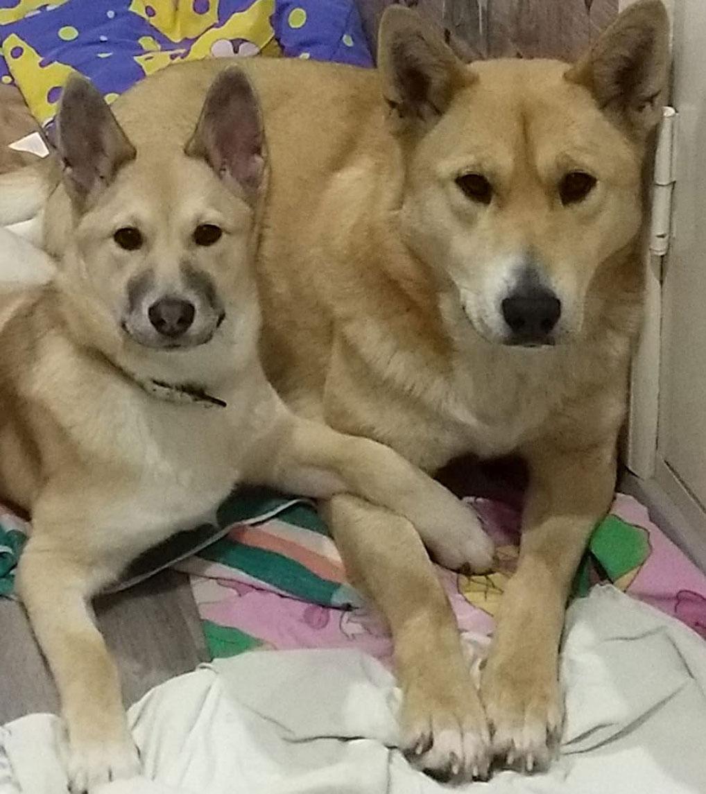 Сейчас Майя и Лайма находятся на передержке. Собаки успели подружиться.